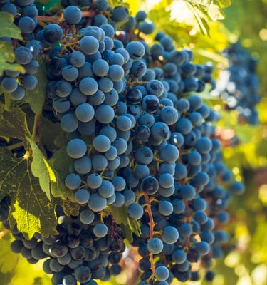 Wine Grapes Pinot Noir