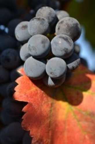 vineyards napa valley grapes