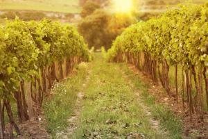 Wine Grapes Varieties And Styles California Winery Advisor