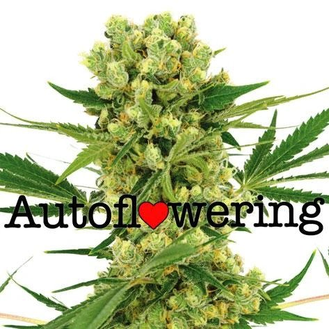 Amnesia Haze Autoflower