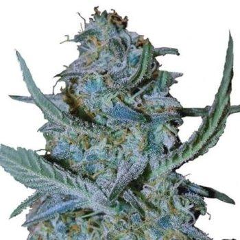 Blue Cheese (fem)