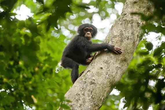 Movie Still: Chimpanzee