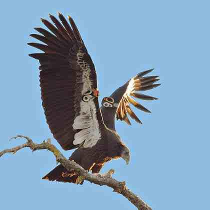 Sophie Osborn on Saving the California Condor 3