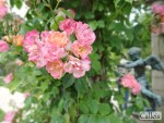 Amateurs de roses, faites donc un détour par la Roseraie de l'Haÿ !