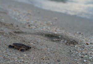 Hatchling photo1 300x207 - El proyecto de Fundación de Parques de Miami Dade  recibe fondos del Programa de Subsidios para las Tortugas Marinas de la Florida