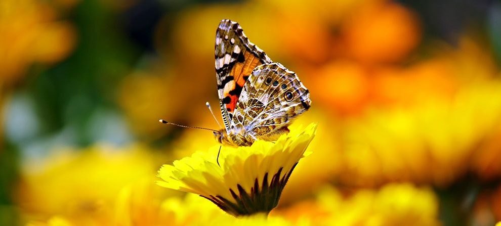 monarch - Miami-Dade County Mayor Carlos Gimenez to help save the Monarch Butterfly