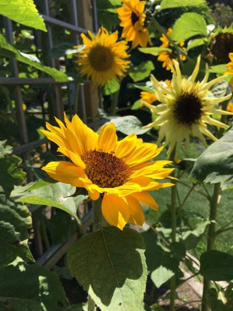 Sunflowers are a bloom