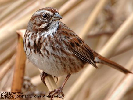 Bird Bio the Song Sparrow  Klamath Call Note