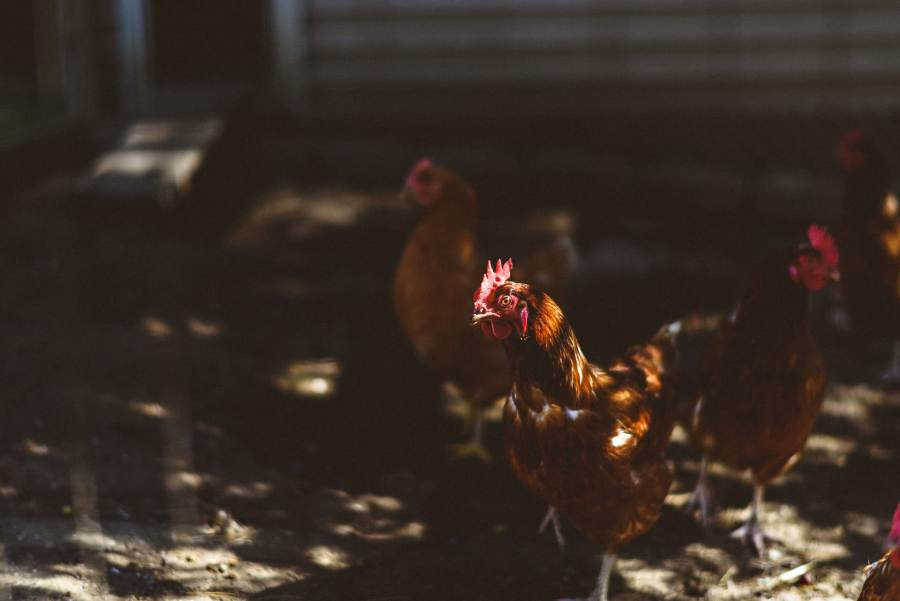 chickens at backyard wedding