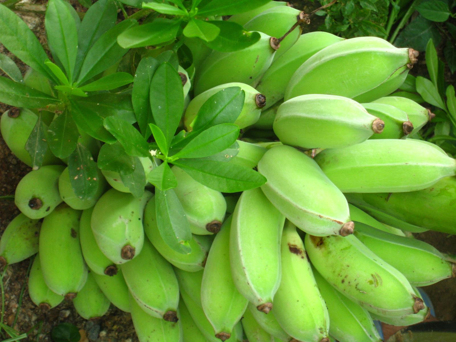 高婆婆種的糯米牛奶蕉