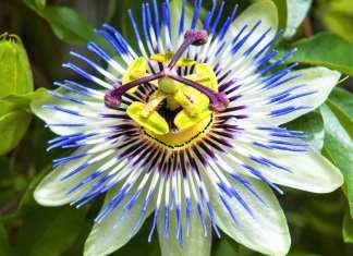 Calmante natural Passiflora