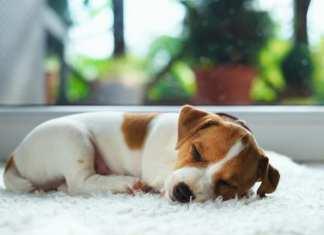 Qual o melhor calmante natural para cachorro