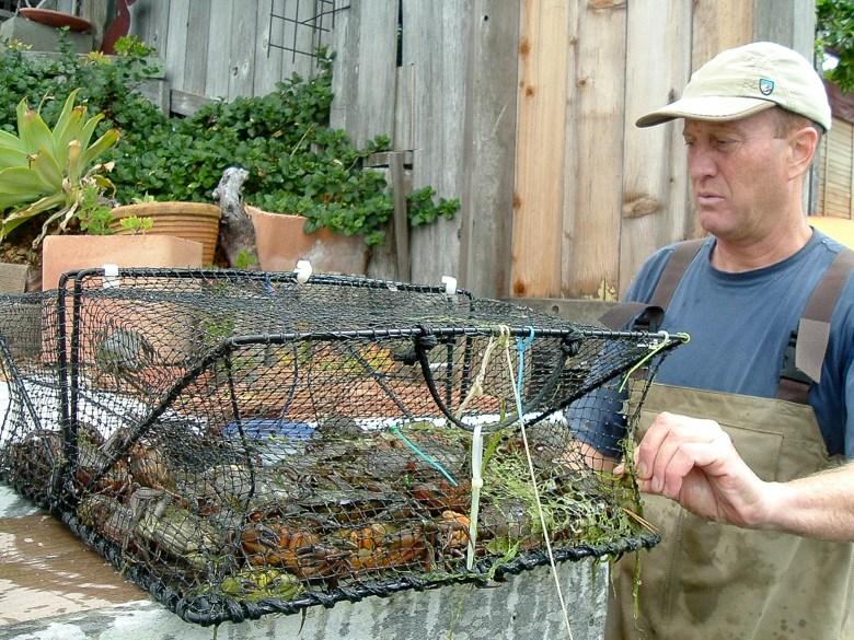Ted Grosholz mira una trampa recién sacada del agua con cangrejos verdes. Foto cortesía de Ted Grosholz