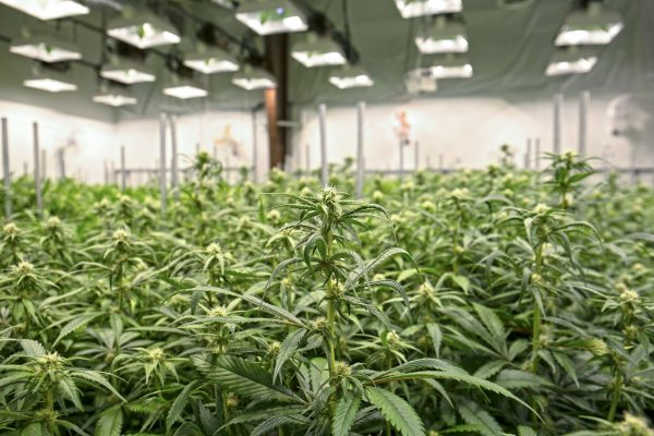 Cannabis farms are among the businesses taking advantage of California's latest legalization.