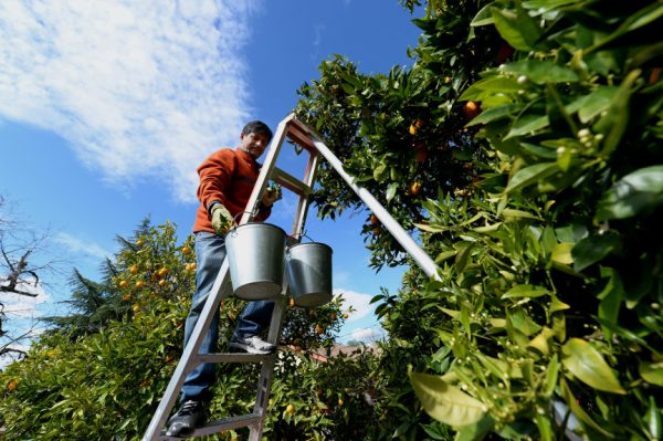 Volunteer Bharat Parekh, of San Ramon, picks oranges from trees at a residence in Concord, Calif., on Saturday, Feb. 28, 2015. This was all part of Urban Farmers who sign up volunteers to harvest fruit trees from private residences for distribution to food banks. (Dan Honda/Bay Area News Group)