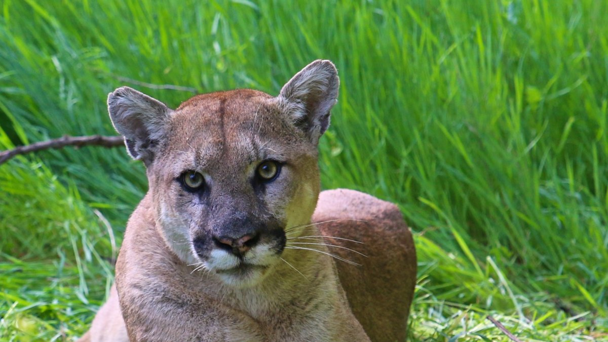 mountain lion California