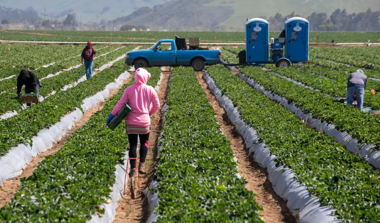 A fieldworker walks through strawberry fields on Saturday, April 25, 2020. Photo by David Rodriguez, The Salinas Californian