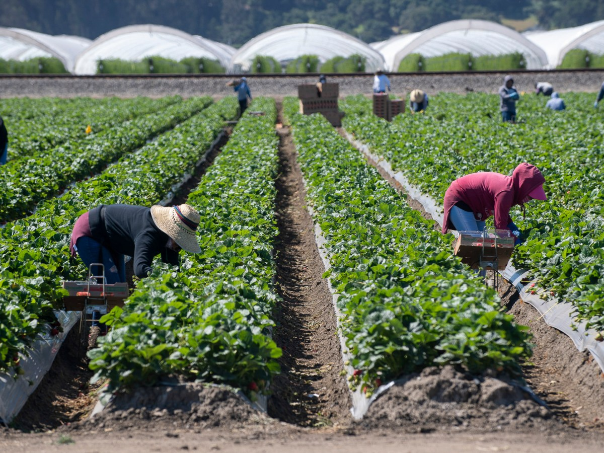 Farmworkers around the Watsonville community pick strawberries as the Watsonville Campesino Appreciation Caravan passes through on Tuesday, May 5, 2020. Today, Gov. Newsom announced a new housing program for farmworkers that will provide hotel rooms for those who need to isolate due to COVID-19. Photo by David Rodriguez, The Salinas Californian