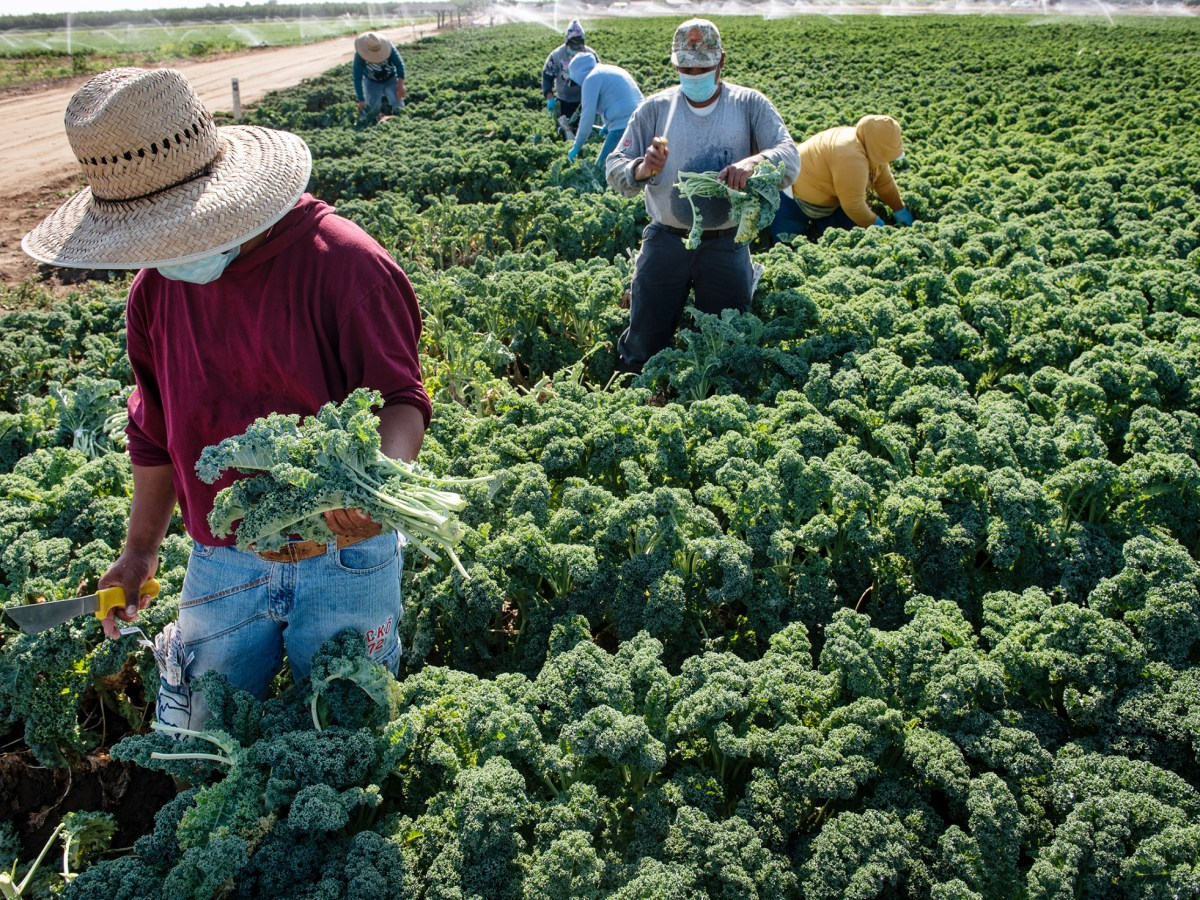 Workers harvest green kale at Ratto Bros. farm west of Modesto, on Friday, July 24, 2020. Photo by Andy Alfaro, Modesto Bee