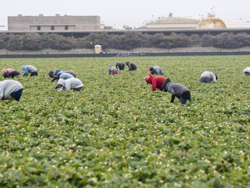 Trabajadores agrícolas cosechan fresas en Watsonville, California, el miércoles 29 de julio de 2020. Foto de David Rodríguez, The Salinas Californian.