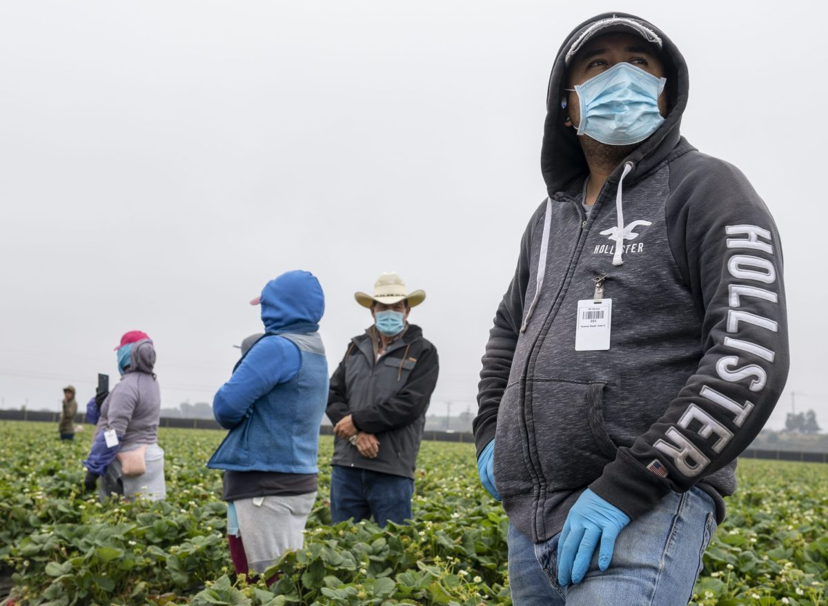 José Suárez, un trabajador de cultivo de fresas, ha estado trabajando en los campos de fresas desde 2001. Suárez lleva una mascarilla médica cuando está de pie cerca de las filas de los campos de fresas en Watsonville, California, el miércoles 29 de julio de 2020. Fotografía de David Rodríguez, The Salinas Californian