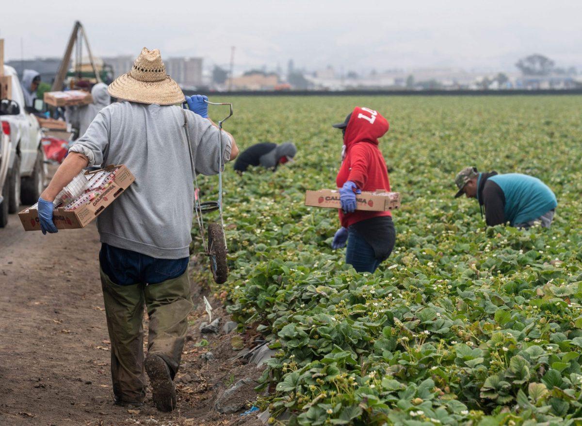 Un trabajador agrícola sostiene una caja de fresas con la mano izquierda y un carro de una rueda con la derecha mientras camina para conseguir otra caja vacía en Watsonville, el miércoles 29 de julio de 2020. Foto de David Rodríguez, The Salinas Californian