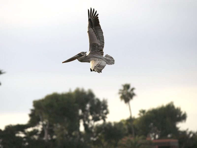 A brown pelican — a species that recovered from near-extinction after being protected by the Endangered Species Act — flies above Malibu Lagoon on Jan. 12, 21. Photo by Shae Hammond for CalMatters