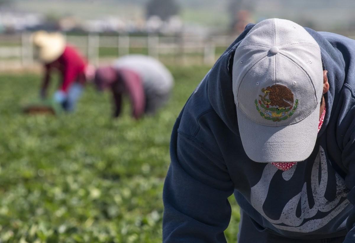 Un trabajador de campo con una gorra con un águila real, el ave oficial de México, mientras la usa para protegerse la cara del sol mientras recoge fresas el sábado 25 de abril de 2020. Foto de David Rodríguez, The Salinas Californian
