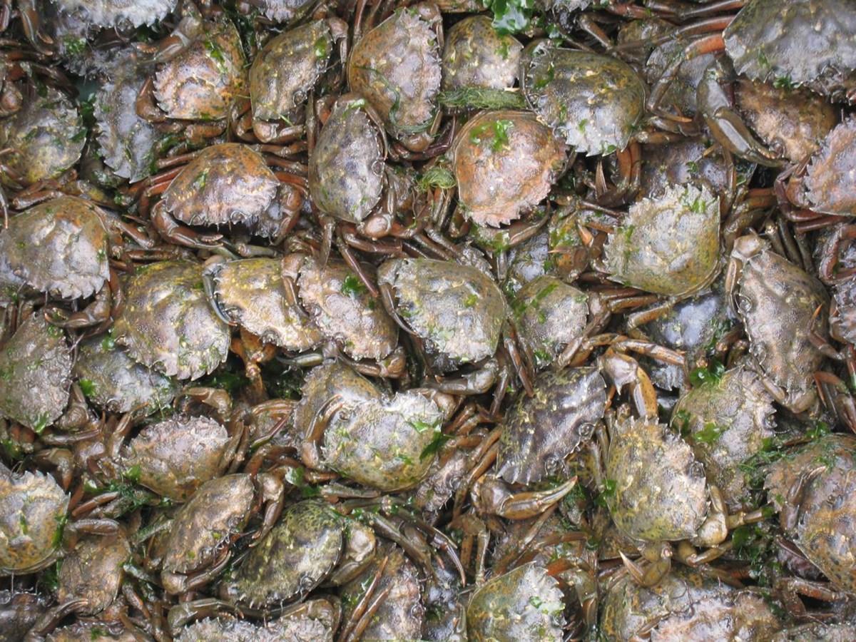 Vista de cerca de un contenedor de cangrejos verdes sacados de una sola trampa. En algunos casos, puede haber cerca de 100 cangrejos por trampa en años de números muy altos. Foto cortesía de Ted Grosholz