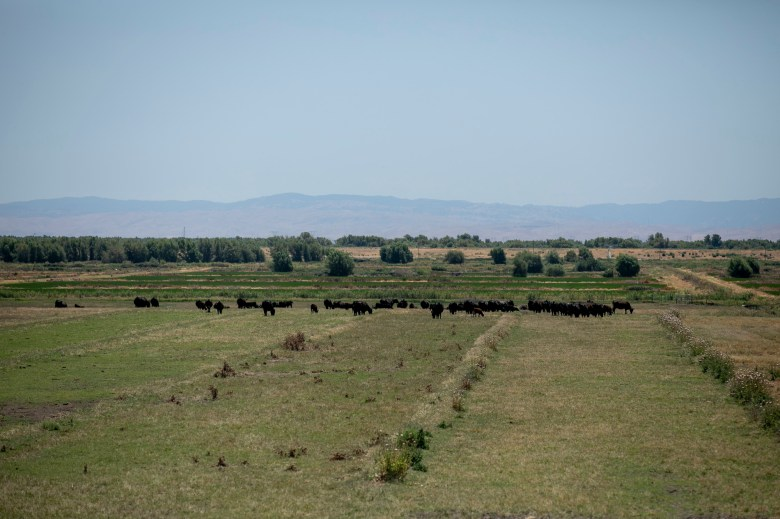 Cows graze in a field near the San Joaquin River on Twitchell Island in Sacramento County on June 15, 2021. The state has notified about 4,300 water users from Fresno to Sacramento to stop diverting water from the San Joaquin and Sacramento rivers watershed. Photo by Anne Wernikoff, CalMatters