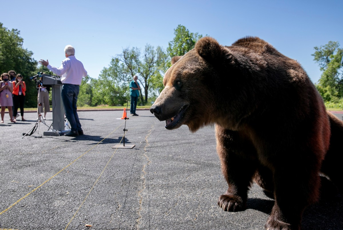 Nine-year-old Tag, a 1,000-pound Kodiak bear, pads around the parking lot while recall candidate John Cox speaks to the press at a campaign event at Miller Regional Park in Sacramento on May 4, 2021. Photo by Anne Wernikoff, CalMatters