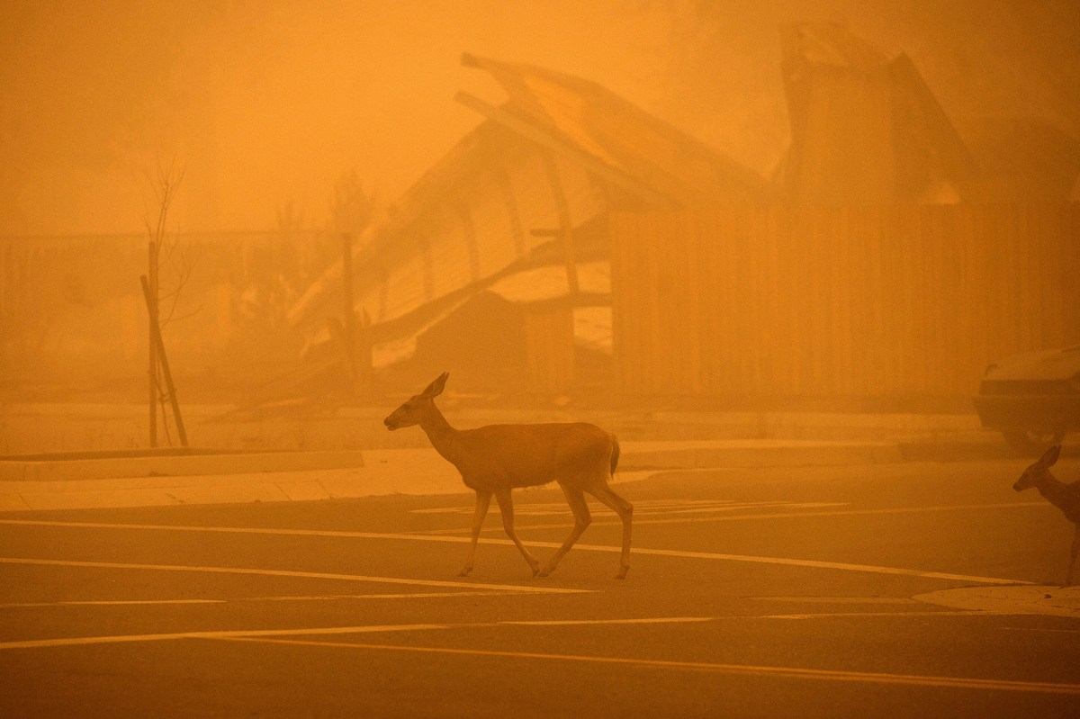 Deer pass a Greenville building destroyed by the Dixie Fire on Aug. 7, 2021 in Plumas County. Photo by Noah Berger, AP Photo