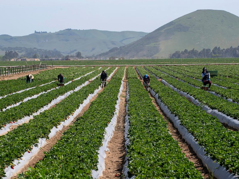 Fieldworkers are photographed picking strawberries on April 25, 2020. Photo by David Rodriguez, The Salinas Californian part of the USA Today Network