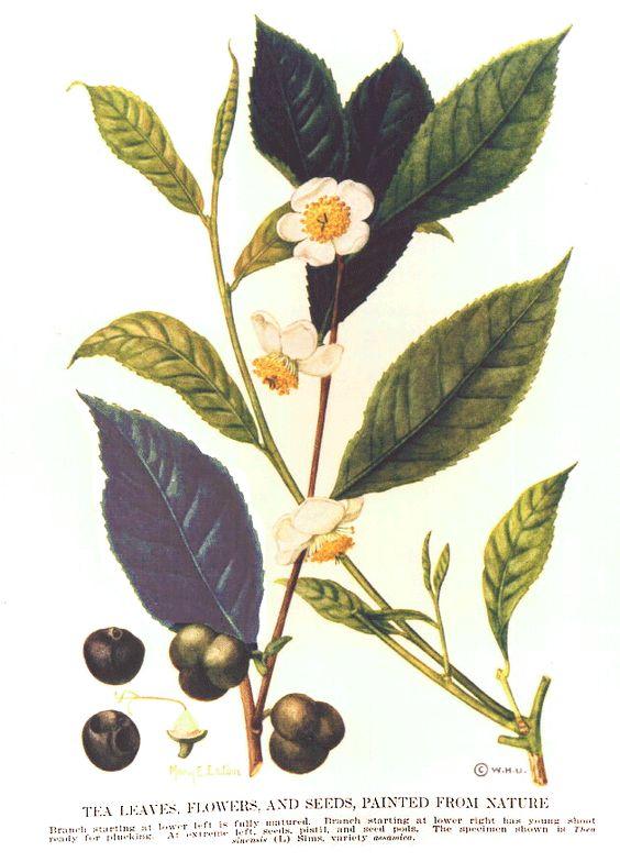 Camellia L Sinsensis