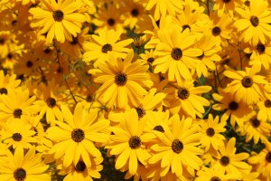 Image shows bright yellow sunflowers