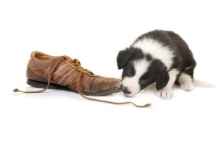Dog chewing shoe - what and how to eat during chemo