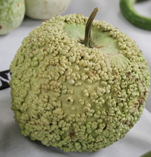 African warty apple - food texture