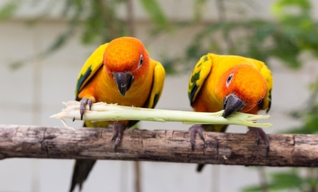 Image shows two conure birds sharing the same piece of food together illustrating that strategies for meal times can help eating as described in a blog post on CALMERme.com