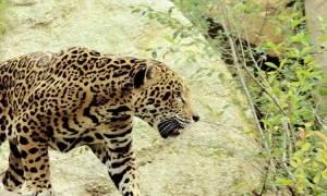 Animal de poder - Jaguar