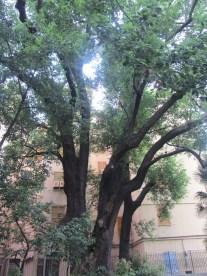 albero di canfora piu' grande in europa