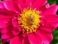 Dahlia and a busy bee