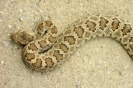 Western Rattlesnake (Crotalus oregnaus oreganus)