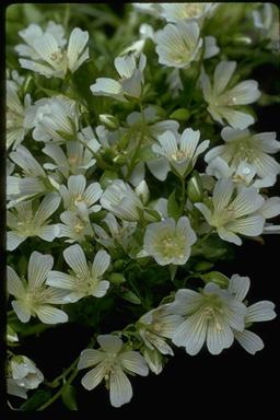 Sebastopol meadowfoam (Limnmanthes vinculans)