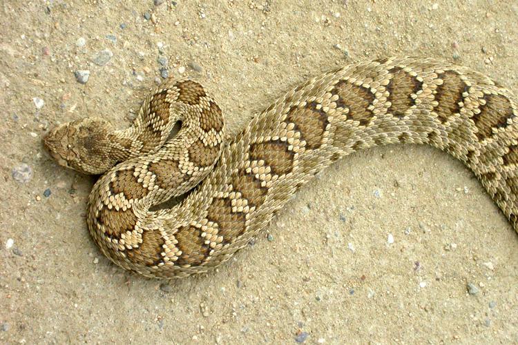Northern Pacific Rattlesnake (Crotalus oreganus oreganus)
