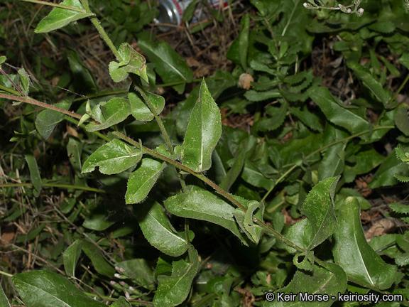 Calphotos Acourtia Microcephala Sacapellote