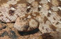 ocellated carpet viper Gallery