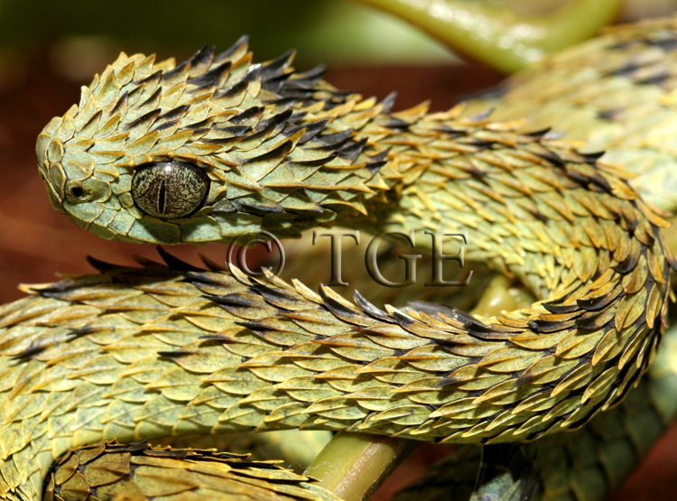CalPhotos Atheris hispida Hairy Bush Viper