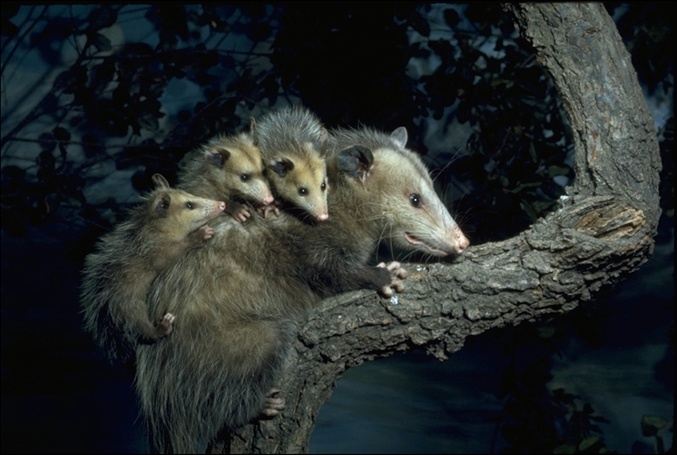 Wallpapers Wolf Hd Didelphis Virginiana North American Opossum Didelphis
