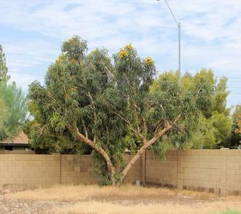 Eucalyptus erythrocorys