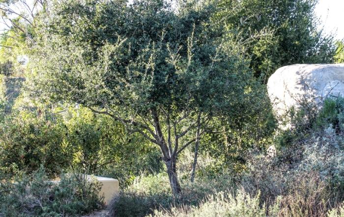 guide oak